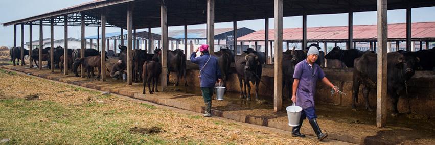 Nucleus Herd Management